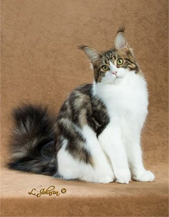 roulette main coon female