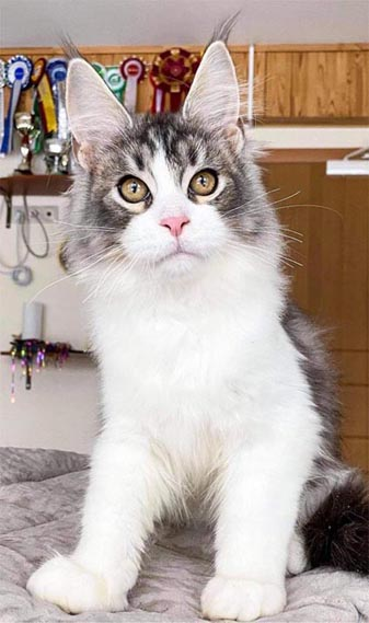 tropikoons maine coon breeding male